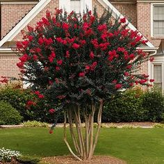 Black Diamonds are Forever Amazing - Give your garden or landscape the brilliance it deserves with the bold beauty only the Black Diamond Red Crape Myrtle can deliver. The vivid color display will add an awesome elegance that will tantalize the eye. Garden Shrubs, Flowering Shrubs, Patio Plants, Garden Plants, House Plants, Landscaping Trees, Front Yard Landscaping, Crepe Myrtle Landscaping, Landscaping Software