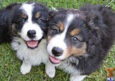 Sweet Australian Shepherd pups