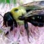 GMO Agriculture and Chemical Pesticides are Killing the Bees