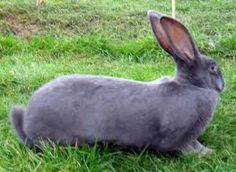 Image result for continental giant rabbit Giant Rabbit, Rabbits, Image, Animals, Animales, Giant Bunny, Animaux, Bunnies, Rabbit