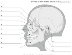 advanced skull labeling free worksheets - Google Search