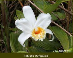 Sobralia-chrysotoma.jpg