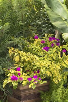 Golden Jackpot® Bougainvillea -- Vibrant purple flowers create a dramatic contrast with the chartreuse to bright golden bordered leaves. Use in containers, groundcover. Full sun. Zones 7-10