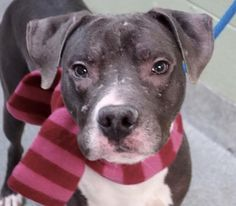 DESI - A1098780 - - Manhattan  TO BE DESTROYED 01/14/17 A volunteer writes: Desi came with sister Lucy to the care center as their owners were evicted. Lucy already left us as she was adopted. Now it's Desi's turn to start the New Year as a happy family pet, a status he so deserves after a difficult start. While in our care, Desi gained weight and was shown kindness with the attention given to him by staff and volunteers. He is a beautiful and elegant dog, very