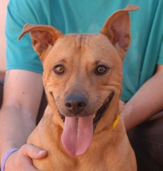 Starbright is a magnificent young girl who likes to flash her smile to let you know she is happy.  She is compatible with cats and large dogs, plus housetrained too.  Starbright is a medium-size Heinz 57 with Australian Cattle Dog, 2 years of age and spayed, and ready for adoption at Nevada SPCA (www.nevadaspca.org).  Her previous owners surrendered her for chewing, which is a natural and necessary behavior for a young dog.  There are many reasonable steps you can take to direct chewing to…