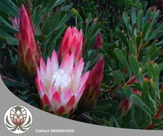 The Protea Repens will make a a stunning addition to your Christmas tree don't you think?