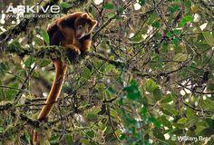 Tenkile | Huon tree kangaroo photo - Dendrolagus matschiei - G82146 - ARKive