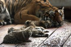 Whoa, Mama! Tiger Gives Birth to Six Cuddly Cubs