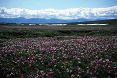 Marsh Creek flowers. Arctic National Wildlife Refuge, Alaska