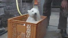 Polar Bear Getting A Bath