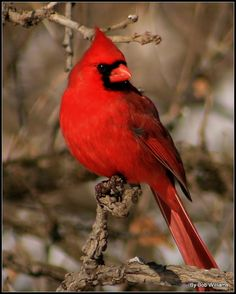 """In memory of Genn Manning. I always think of """"Uncle Glenn"""" when I see a cardinal. And i have 2 pair that come into my yard and feed almost every day this year."""