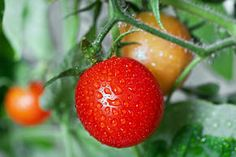 growing tomatoes tasty!