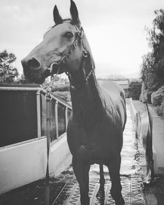My love for this horse is beyond anything I new possible when I first met him....at the grand old age of 9 he has no idea he is actually a legend at Flemington racetrack....not to mention he's an absolute STUNNING beast  #extrazero #myhero #mymainman #stunning #thoroughbred #racehorse #alwaysthebridesmaid #timetogojumping #warrnambool #bringonthejumpscarnival #welovetojump #lovehimmorethanwords #lindsaypark by tararoseclegg
