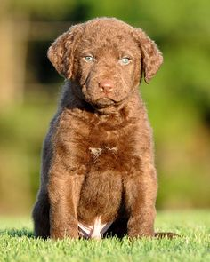 Chesapeake Bay Retriever Pup ~ Classic Look Chesapeake Bay Retriever Puppy, I Love Dogs, Cute Dogs, Baby Animals, Cute Animals, Paws And Claws, Hunting Dogs, Beautiful Dogs, Dog Life