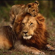 Daddy Lion and cub ❤