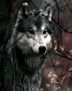 i am just too in love with wolves