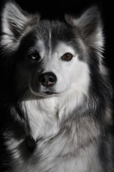 American Eskimo x Siberian Husky #Huskimo except Shiya and Naahmay are pure white. Best dogs ever (if you don't mind brushing them every other day or so) :)