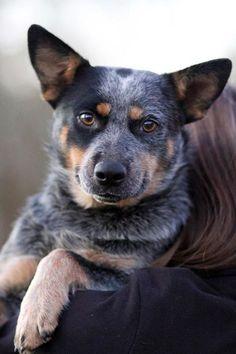 LOL! ) Heelers Austrailian cattle dog, Dogs