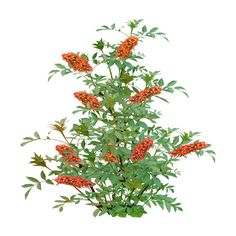Butterfly Bush Orange.png ❤ liked on Polyvore featuring flowers