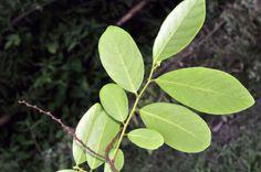 福星花園: 土密樹