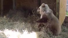 Un cachorro de oso jugando con un montón de heno