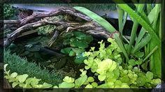 日本語池-Nihongo ike - Stagno giapponese ... Acqua cristallina, piante ossigenanti rigogliose, antico tronco di rosmarino, mondo in miniatura per gli abitanti shubunkin e ganbusia