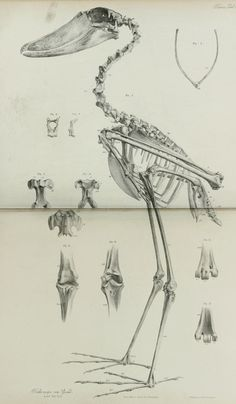 Skeleton of a Shoebill (Balaeniceps rex) From: 'On the osteology of Balaeniceps rex (Gould)' by W. Kitchen Parker, 1860, Transactions of the Zoological Society of London Vol 4