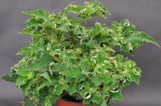Begonia 'Double Jeopardy'  steve's leaves