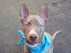RTO - SAFE 02/09/15 ***RETURNED 02/03/15 - PET CONFLICT*** SAFE 1/21/15 --- Manhattan Center   JODY - A1025361  *** AVERAGE HOME ***  MALE, BR BRINDLE, PIT BULL MIX, 3 yrs STRAY - STRAY WAIT, NO HOLD Reason STRAY  Intake condition EXAM REQ Intake Date 01/13/2015,  https://www.facebook.com/photo.php?fbid=946286735384206