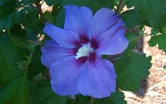 Hibiscus are large shrubs or small trees that produce huge, colorful, trumpet-shaped flowers over a long season. The genus comprises several. Hibiscus Shrub, Blue Hibiscus, Hibiscus Flowers, Hibiscus Flower Drawing, Rose Garden Design, Buy Plants Online, Types Of Roses, Hummingbird Garden, Rare Flowers