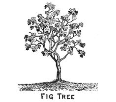 Fig tree. Also description of why Jesus cursed the fig tree
