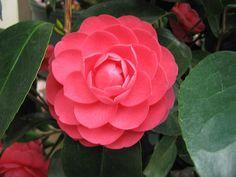 Camellia japonica 'Jacks' | Flickr - Photo Sharing!