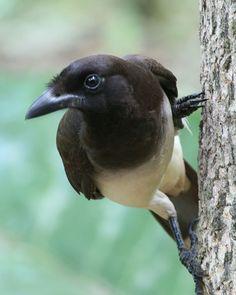 Brown Jay (Cyanocorax morio) Costa Rica