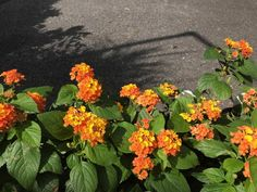 """Lantana 'Little Lucky Orange' Zone: Annual Height: 10-12"""" x 10-12"""" Light Needs: Full Sun Compact plant with bright multi-colored flowers with a long bloom season lasting from Spring to Fall. Makes a great filler in containers and baskets and ideal for mass planting or along a pathway or border. Remains neat and tidy all season with little care. Tough and withstands Summer heat and humidity. Feed monthly during growing season. Attracts butterflies"""