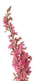 heather -- might be closer to the color we'll have than the other heather I pinned #flowers
