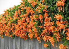 Enredadera flores naranjas bignonia