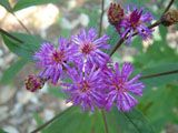Vernonia noveboracensis (New york ironweed) | NPIN  A beautiful wildflower native to New York.