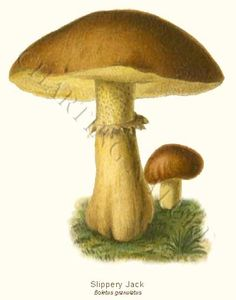 'Boletus granulatus' restored antique mushroom illustration - via Charting Nature