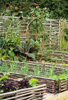 .:Beds of chard and salsify backed by sunflowers in the vegetable garden at Perch Hill in autumn:.