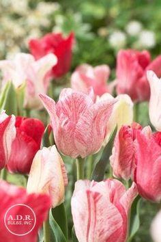 Tulipa triumph 'Hemisphere' Tulip