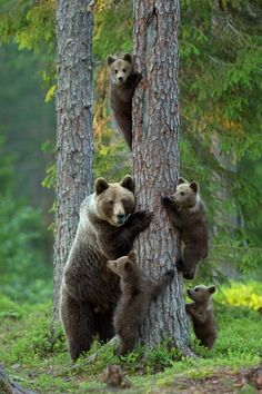 """Earth-song: """"family"""" by Lauri Tammik. Family of grizzly bear cubs. Bear cubs stay with their moms for two years. Nature Animals, Animals And Pets, Funny Animals, Cute Animals, Wild Animals, Wildlife Nature, Small Animals, Artic Animals, Baby Animals Super Cute"""