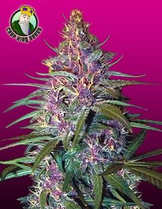Purple Kush is world renowned for its purple leaves and strong smoky taste combined with a very high THC level. The plant is short in stature with dense buds riddled with thin white and orange hairs. Purple Kush is a durable and versatile plant with frosty buds and an earthy pungent aroma that will take you on a ride outside of your body.  http://www.cropkingseeds.com/products-page/strains/purple-kush-feminized/