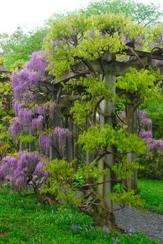 Wisteria on the pergola in Longwood Garden's Wisteria Garden.