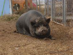 Scarlett the pig