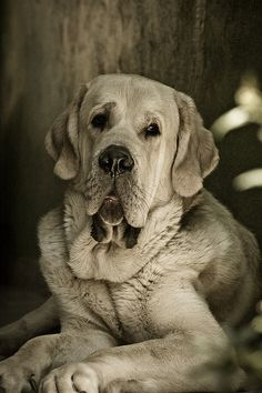Spanish Mastiff..what a beautiful face..wish I could kiss and cuddle U..I kissed that screen..Love U
