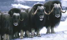 "Jan. 11 - Musk Oxen: ""He [God] is a shield unto them that put their trust in him."" Proverbs 30:5, KJV"