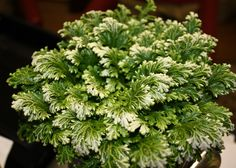 YPES OF FERNS - Yahoo Image Search Results