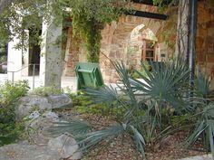 Dwarf Palmetto (specimen plant for back yard garden)