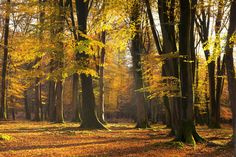 Autumn Scented Woods - Fototapeter