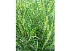 Rostlina | Rozmarýn, Rosmarinus officinalis Herbs, Plants, Herb, Plant, Planets, Medicinal Plants